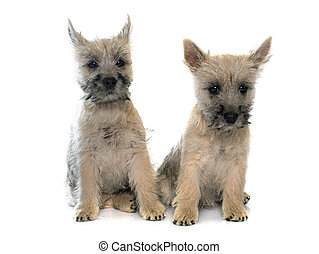 puppies cairn terrier in front of white background