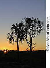 pandanus trees in the sunset a - pandanus trees in the...
