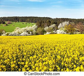 Rapeseed field - Brassica Napus - plant for green energy and...