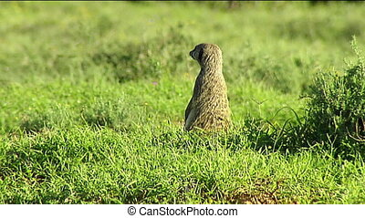 Meerkat on alert outside burrow - Meerkat (Suricata...