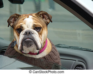 Bulldog - this bulldog is out for a ride in the car...