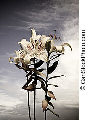 White Lily flower - photo of a white lily flower with a...