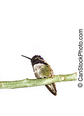 Costas hummingbird on the branch isolated over white surface...