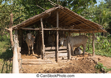 cow in small farm - cows at small farm in countryside of...