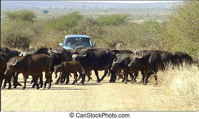 African buffalo or Cape buffalo her - African buffalo or...