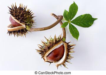 Aesculus hippocastanum Common Horse Chestnut