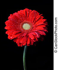 Dewy gerbera flower isolated on black background