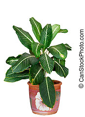 Aglaonema is a genus of flowering plants in arum family, isolated on white background with clipping path.