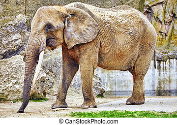 Large Indian elephants its natural habitat.