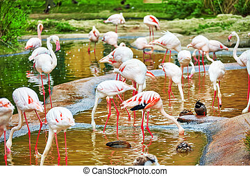 Flock of the Pink flamingo in nature Phoenicopterus roseus...