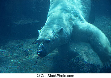 Polar Bear Underwater - Polar bear swimming underwater