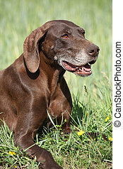 Beautiful bitch of German Shorthaired Pointer in nature