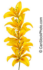 lily - Studio Shot of Yellow Colored Lily Flowers Isolated...