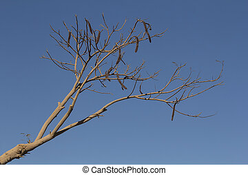 Locust bean tree - dried african carob tree on a blue sky...