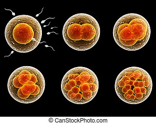 Process division of fertilized cell. Isolated on black...