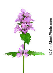 Stachys officinalis, purple betony flower isolated on a...