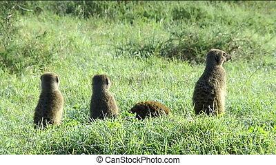 Meerkats on alert - Meerkats (Suricata suricatta) on alert...