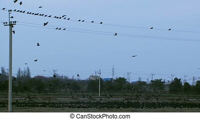 Rooks - A flock of birds flying near power lines.