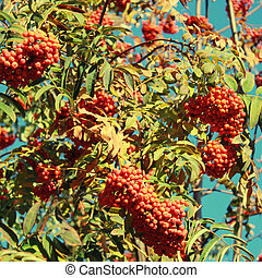 rowan tree on blue sky background - Autumn landscape with...