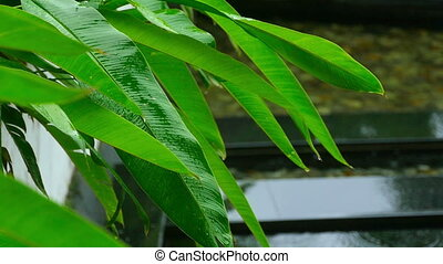 Leaves on tropical plant in rain - Raindrops on the leaves...