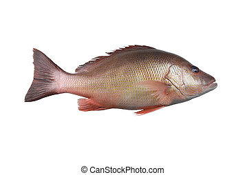 Fresh red Snapper fish or Lutjanus campechanusfish isolated...