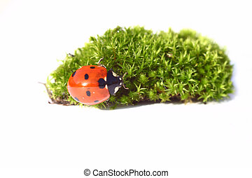 lady bug and green moss on white background
