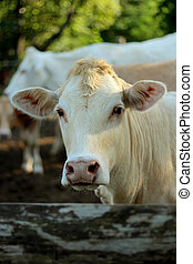 Young cattle standing staring