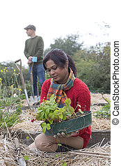 It's strawberry season! - Couple working in their allotment....