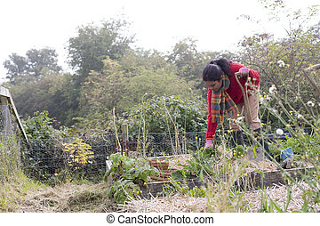 Woman maintaining her allotment - Woman mainting her...