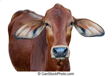 vaca, imagen, aislado, Plano de fondo, blanco, rojo