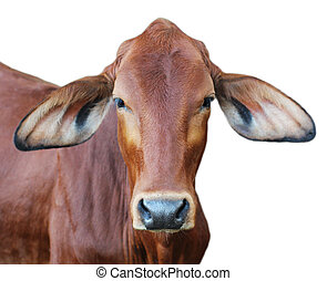 Image of red cow isolated on white background