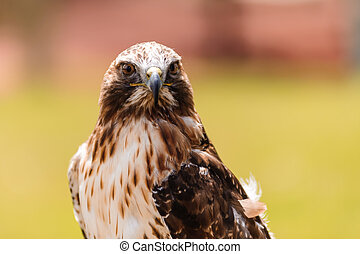 Ferruginous hawk closeup - Ferruginous hawk or Butea regalis...