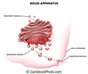 Golgi apparatus a part of the eukaryotic cell. Detailed...