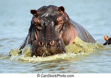 Charging Hippo - A charging hippo on Lake Manze ,selous ,...