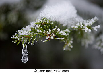 christmas evergreen pine tree covered with fresh snow -...