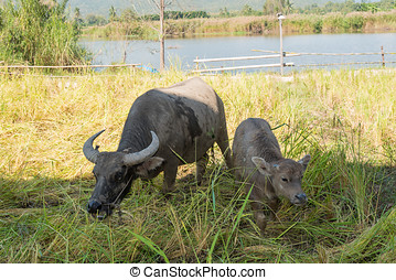 Buffalo in rice field - Small buffalo with his mother in the...