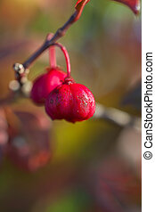 Common spindle bush - seed - Common spindle bush - Euonymus...