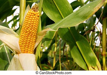 Maize cob detail between green leaves