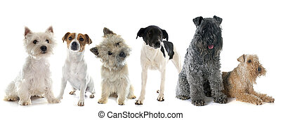 group of terrier in front of white background