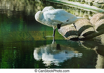 Sleeping White Swan - White Swan is Sleeping Standing on One...