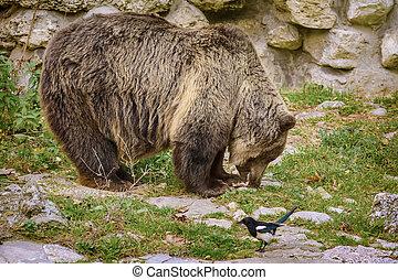 marrón, Bear, ,