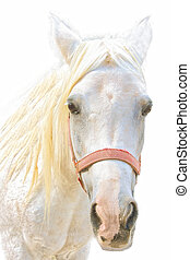 Portrait of a white horse - portrait of a young white...
