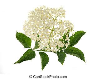 Sambucus - Elderberry flower on a white background