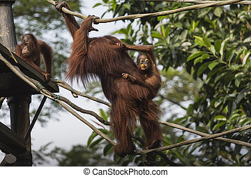 Orangutan in the jungle of Borneo Indonesia
