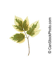 Pressed and dried leaf ash-leaf maple Acer negundo isolated...