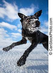 Hilarious black dog jumping for joy over a snowy field on a...