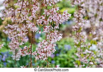 Cereza, flores, o, sakura,