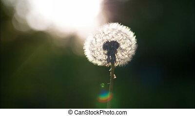 Air Blows on a Dandelion - Air blows away dandelion seeds