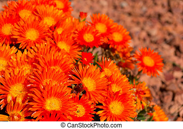 Bright orange marigold flowers with shallow depth of field