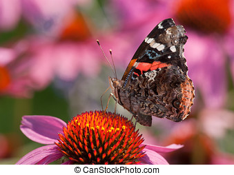 Red Admiral - A beautiful Red Admiral butterfly feeds on the...